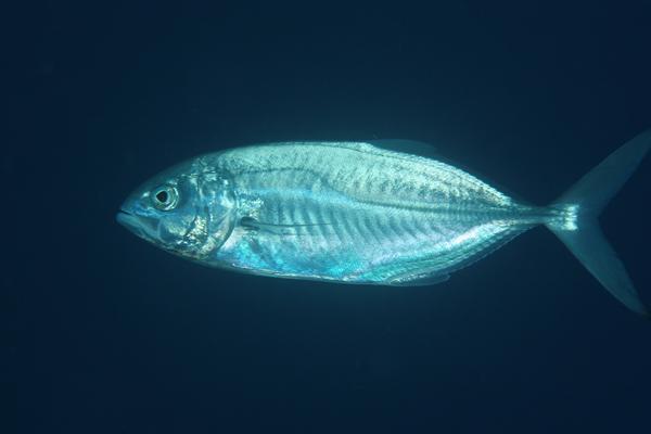 Peces pescables de aca for Pacifico fish company