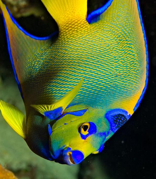 Underwater photography fish database for Queen angel fish