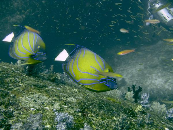 Angelfish - Blue-ringed Angelfish