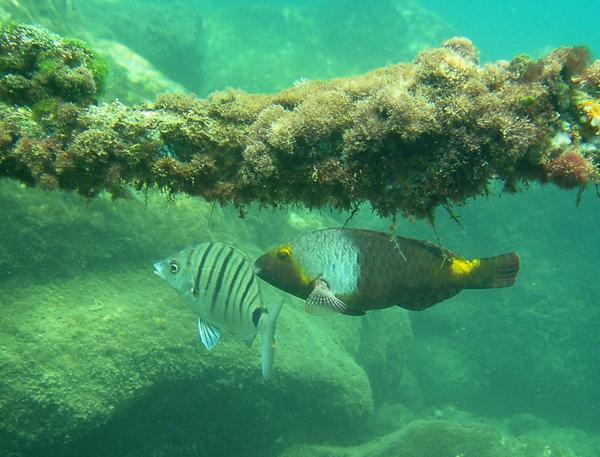 European Parrotfish
