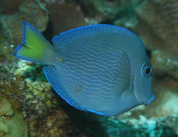 Surgeonfish for Blue tang fish facts