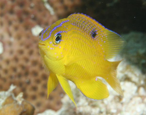 Longfin Damselfish - Stegastes diencaeus - Caribbean Fish ...