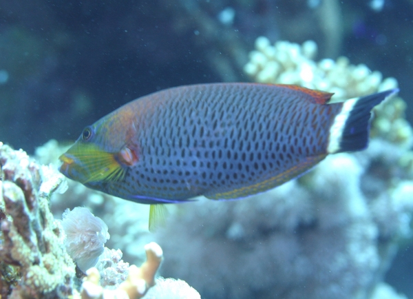 black sea bass and wrasse fish relationship site