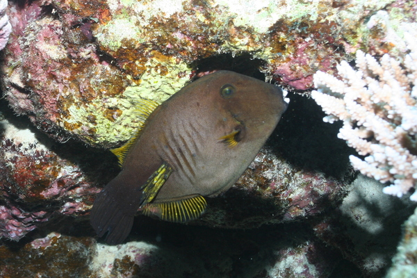 Filefish - Broom Filefish