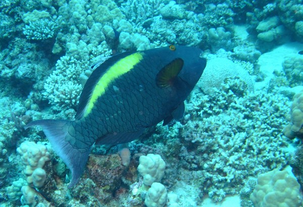 Parrotfish - Bicolour Parrotfish