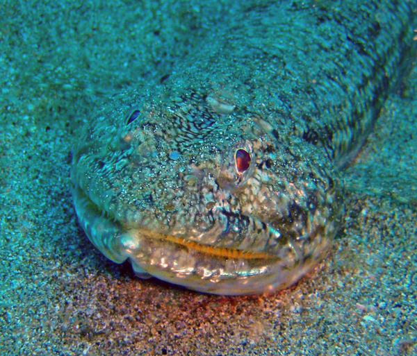 Lizardfish - Blue-striped Lizardfish