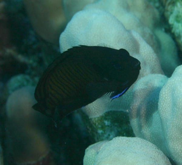 Angelfish - Dusky Angelfish