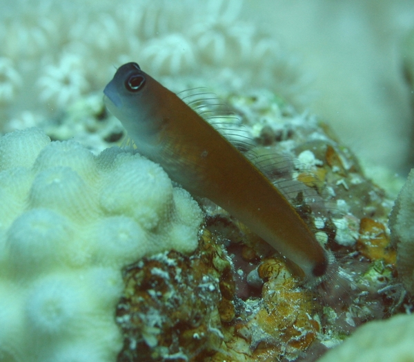 Blennies - Arons blenny