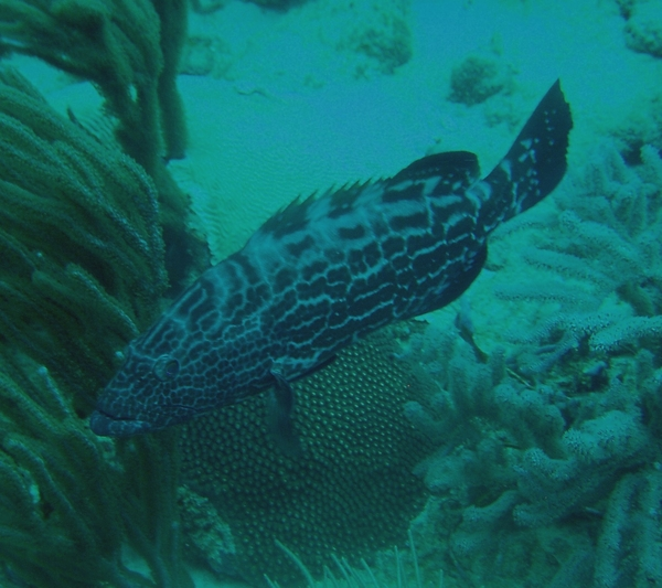 Groupers - Black Grouper