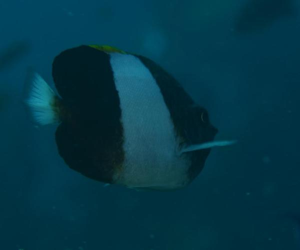 Brown And White Butterflyfish 3626 Brown-and-white