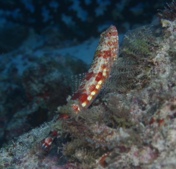 Lizardfish - Redmarbled Lizardfish