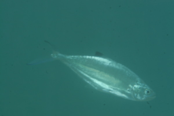 Jacks - Double-spotted Queenfish