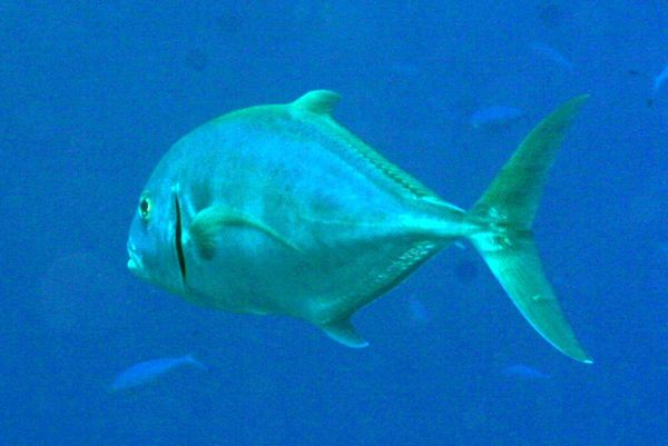 Jacks - Yellowspotted Trevally