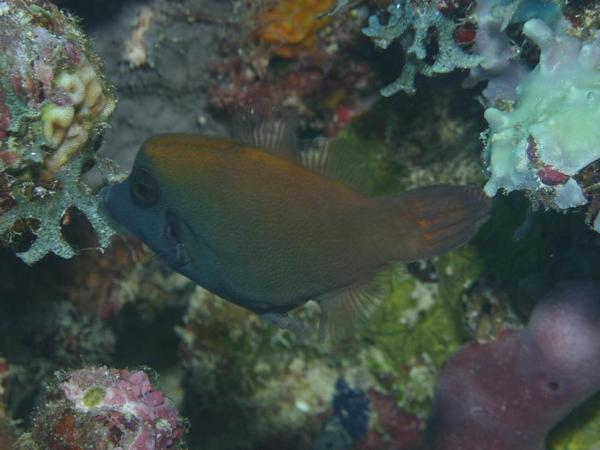 Filefish - Blackbar Filefish