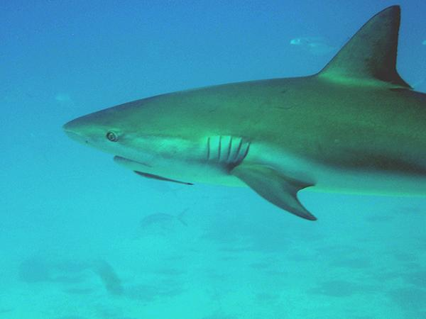 Shark - Caribbean Reef Shark