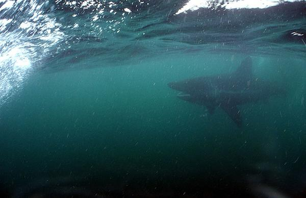 Shark - Basking Shark