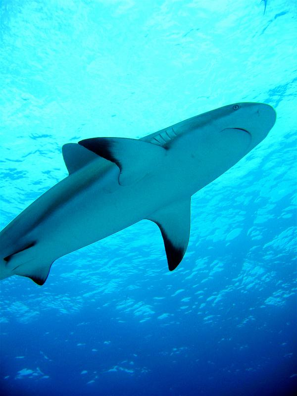Shark - Blacktip Reef Shark