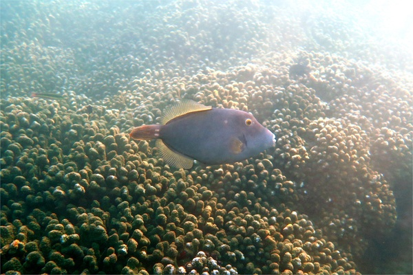 Filefish - Barred Filefish